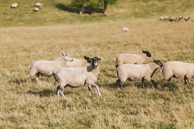 sheep running in a field